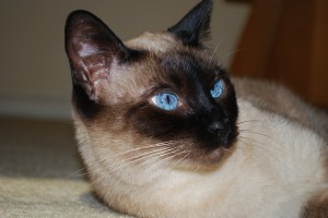 pancreatitis in cats and dogs