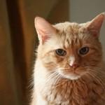 Feline chronic kidney failure