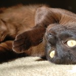 taurine for cats health