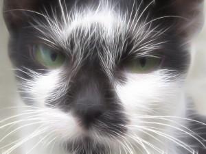 feline inflammatory bowel disease