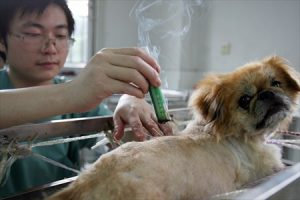 moxibustion for pets