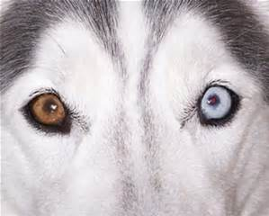 blind diabetic dog